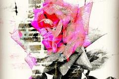 """Climbing Rose"", Carolyn Gibson"