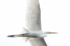 """Great Egret"", Johan Hakansson"