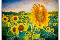 """""""Sunflowers at Sunset"""" by Susan Stamey ~ Photography ~ $125"""