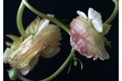 """""""Intimate Ranunculus"""" by Kate Kirby ~ Photography ~ $150"""