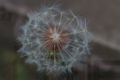"Christy Schwartz - ""Dandelion Prior to Blowing"""