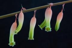 """Aloe Blooms"", Alan Weinberg"