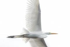 """""""Great Egret"""", Johan Hakansson"""