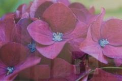 """Christy Schwartz - """"Hydrangea a Flower Within"""""""