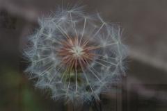 """Christy Schwartz - """"Dandelion Prior to Blowing"""""""